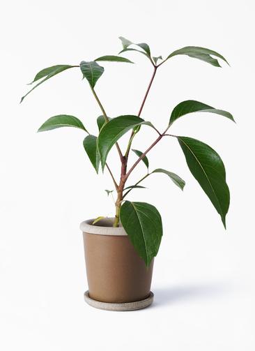 観葉植物 ツピダンサス 3.5号 ボサ造り キャメルポット ブラウン 付き