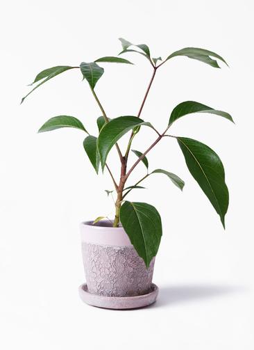 観葉植物 ツピダンサス 3.5号 ボサ造り ハレー ピンク 付き