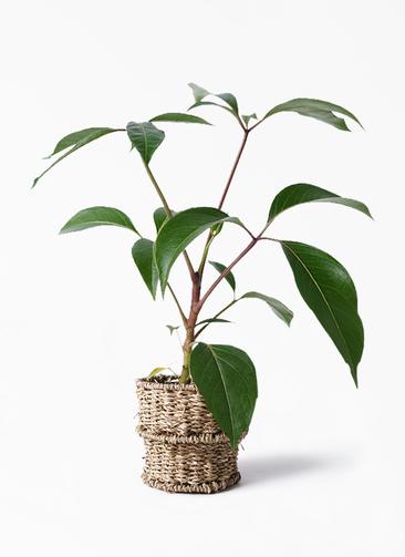 観葉植物 ツピダンサス 3.5号 ボサ造り バスケット 付き
