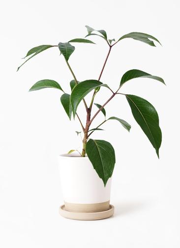 観葉植物 ツピダンサス 3.5号 ボサ造り マット グレーズ テラコッタ ホワイト 付き