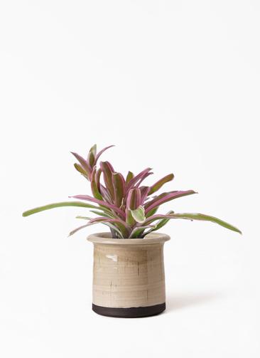 観葉植物 ネオレゲリア 3号 アンティークテラコッタ グレイ 付き