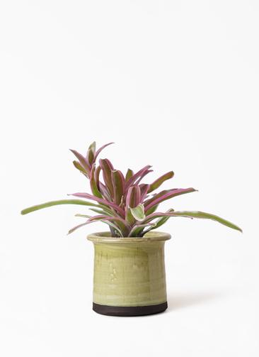 観葉植物 ネオレゲリア 3号 アンティークテラコッタ グリーン 付き