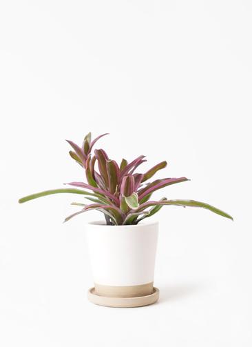 観葉植物 ネオレゲリア 3号 マット グレーズ テラコッタ ホワイト 付き