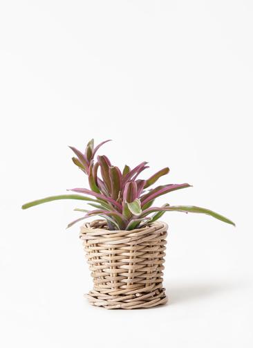 観葉植物 ネオレゲリア 3号 グレイラタン 付き
