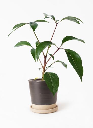 観葉植物 ツピダンサス 3.5号 ボサ造り マット グレーズ テラコッタ ブラック 付き