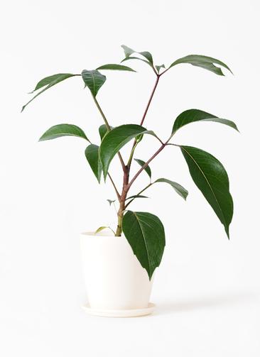 観葉植物 ツピダンサス 3.5号 ボサ造り ラスターポット 付き