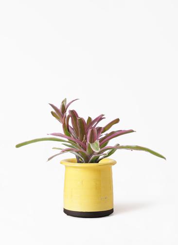 観葉植物 ネオレゲリア 3号 アンティークテラコッタ イエロー 付き