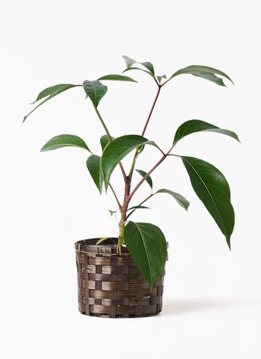 観葉植物 ツピダンサス 3.5号 ボサ造り 竹バスケット付き