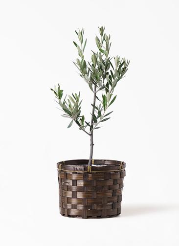 観葉植物 オリーブの木 3号 創樹 竹バスケット付き