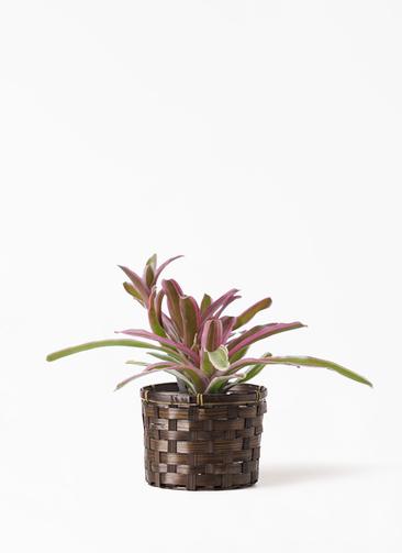 観葉植物 ネオレゲリア 3号 竹バスケット付き
