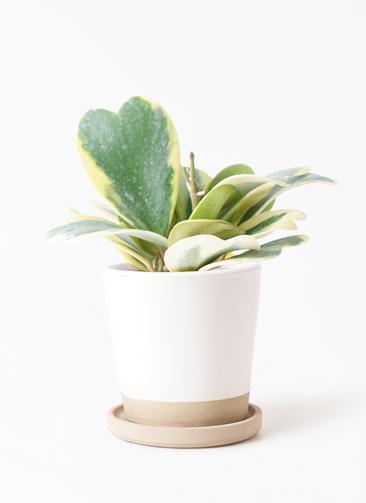観葉植物 ホヤ (サクララン) 3.5号 マット グレーズ テラコッタ ホワイト 付き