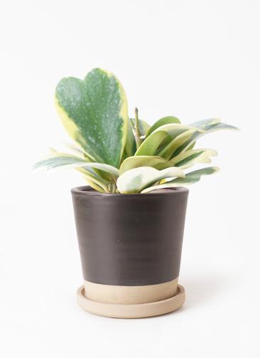 観葉植物 ホヤ (サクララン) 3.5号 マット グレーズ テラコッタ ブラック 付き