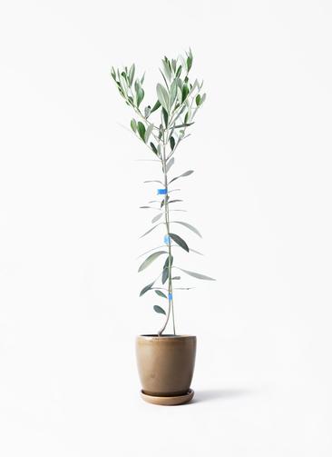 観葉植物 オリーブの木 3.5号 ルッカ アステア トール ブラウン 付き