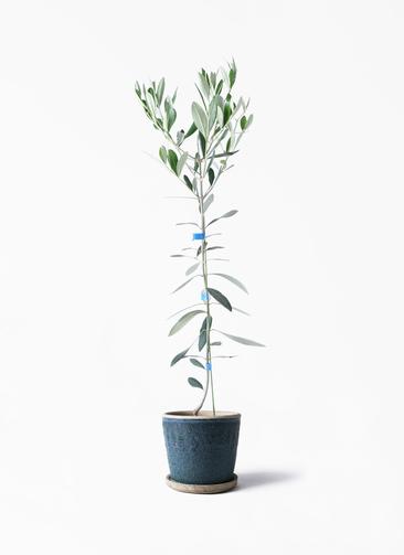 観葉植物 オリーブの木 3.5号 ルッカ フェイバーポット ブルー 付き