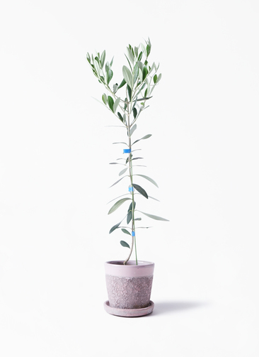 観葉植物 オリーブの木 3.5号 ルッカ ハレー ピンク 付き