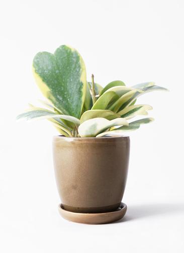 観葉植物 ホヤ (サクララン) 3.5号 アステア トール ブラウン 付き