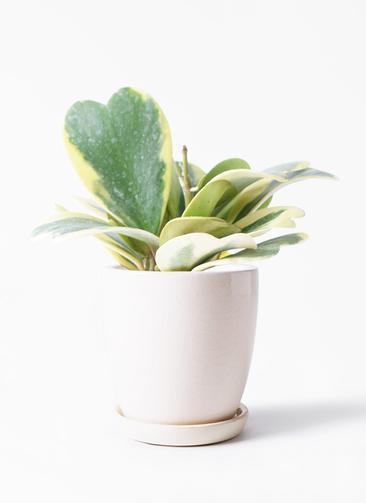 観葉植物 ホヤ (サクララン) 3.5号 アステア トール ホワイト 付き