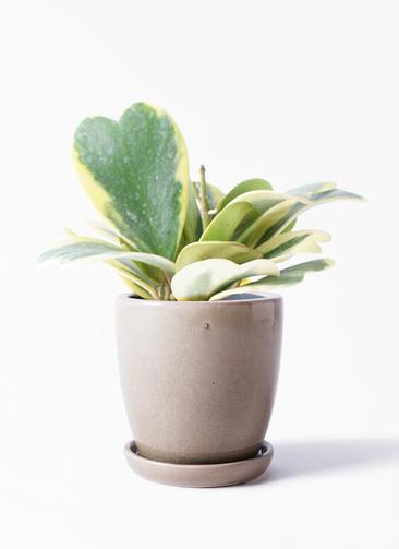 観葉植物 ホヤ (サクララン) 3.5号 アステア トール ベージュ 付き