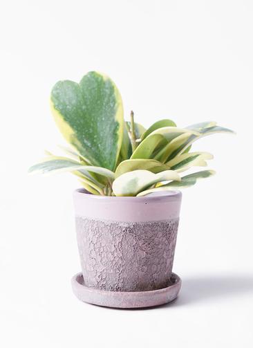 観葉植物 ホヤ (サクララン) 3.5号 ハレー ピンク 付き