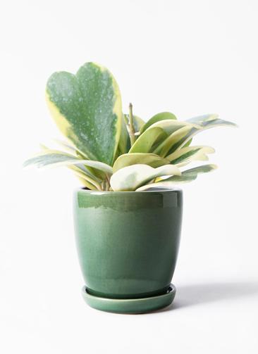 観葉植物 ホヤ (サクララン) 3.5号 アステア トール グリーン 付き