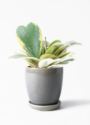 観葉植物 ホヤ (サクララン) 3.5号 アステア トール ライトグレー 付き