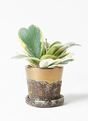 観葉植物 ホヤ (サクララン) 3.5号 ハレー ブロンズ 付き