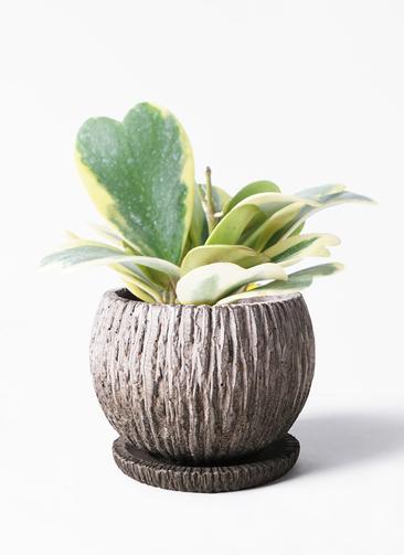 観葉植物 ホヤ (サクララン) 3.5号 ストーン ウェア セラミック 付き