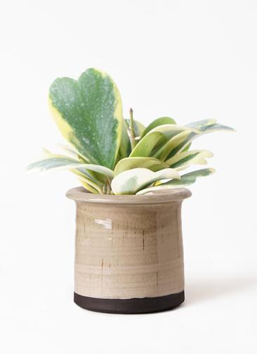 観葉植物 ホヤ (サクララン) 3.5号 アンティークテラコッタ グレイ 付き