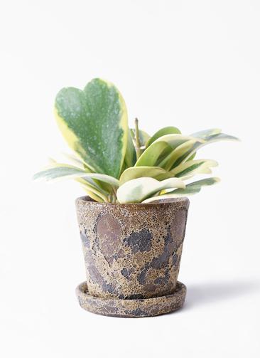 観葉植物 ホヤ (サクララン) 3.5号 ハレー カーキー 付き