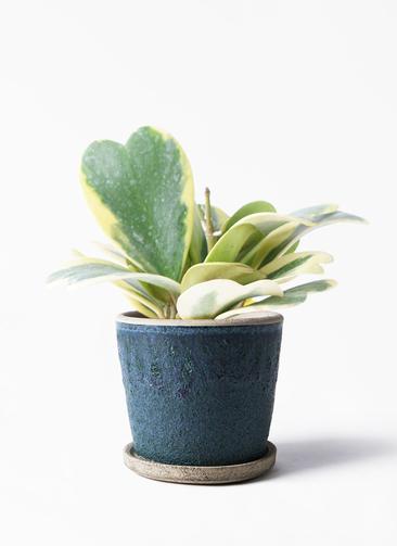 観葉植物 ホヤ (サクララン) 3.5号 フェイバーポット ブルー 付き
