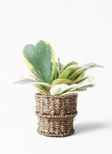 観葉植物 ホヤ (サクララン) 3.5号 バスケット 付き