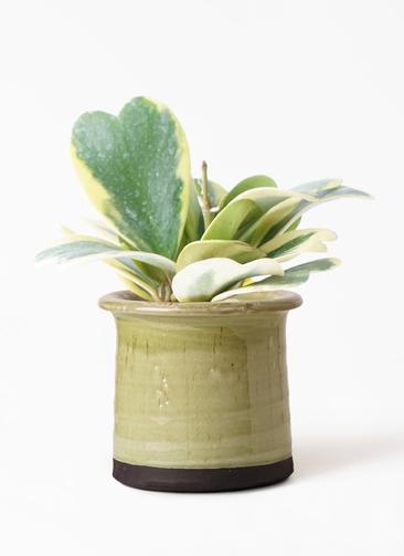 観葉植物 ホヤ (サクララン) 3.5号 アンティークテラコッタ グリーン 付き