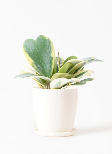 観葉植物 ホヤ (サクララン) 3.5号 ラスターポット 付き