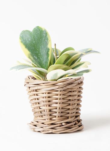 観葉植物 ホヤ (サクララン) 3.5号 グレイラタン 付き