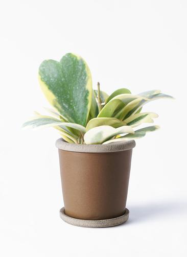 観葉植物 ホヤ (サクララン) 3.5号 キャメルポット ブラウン 付き