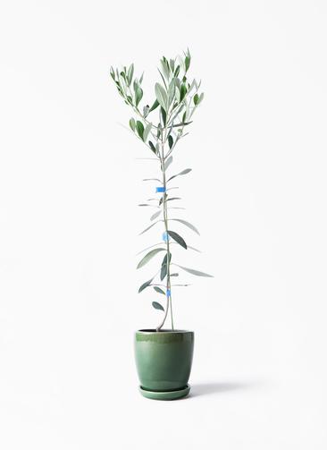 観葉植物 オリーブの木 3.5号 ルッカ アステア トール グリーン 付き