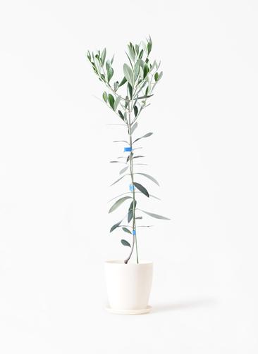 観葉植物 オリーブの木 3.5号 ルッカ ラスターポット 付き