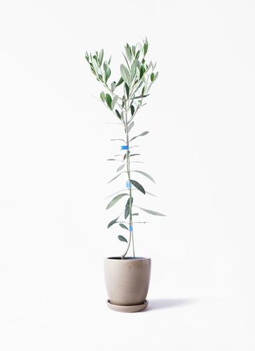 観葉植物 オリーブの木 3.5号 ルッカ アステア トール ベージュ 付き