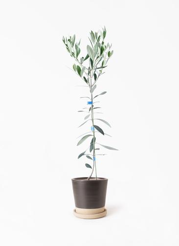 観葉植物 オリーブの木 3.5号 ルッカ マット グレーズ テラコッタ ブラック 付き