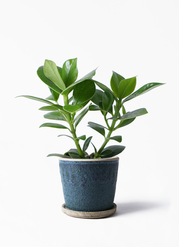 観葉植物 クルシア ロゼア プリンセス 3.5号 フェイバーポット ブルー 付き