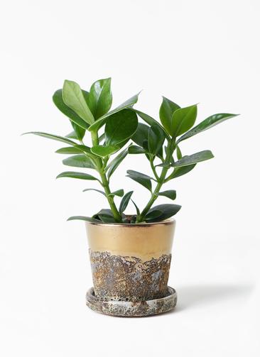 観葉植物 クルシア ロゼア プリンセス 3.5号 ハレー ブロンズ 付き