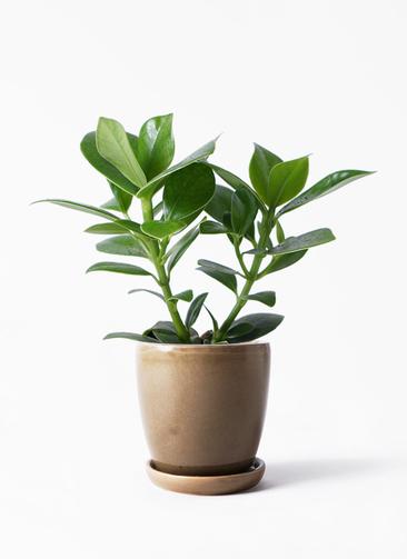 観葉植物 クルシア ロゼア プリンセス 3.5号 アステア トール ブラウン 付き