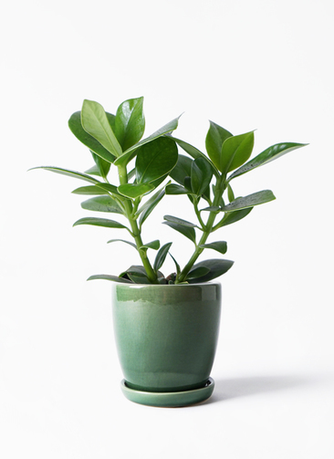 観葉植物 クルシア ロゼア プリンセス 3.5号 アステア トール グリーン 付き