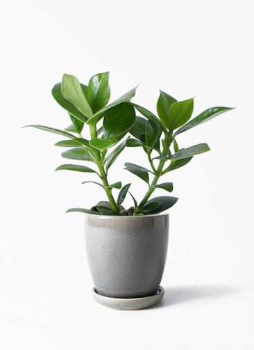 観葉植物 クルシア ロゼア プリンセス 3.5号 アステア トール ライトグレー 付き