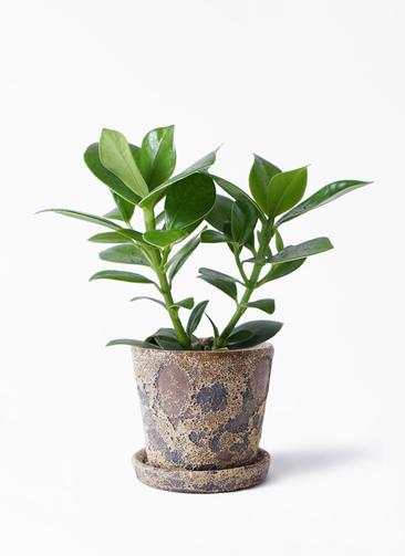 観葉植物 クルシア ロゼア プリンセス 3.5号 ハレー カーキー 付き