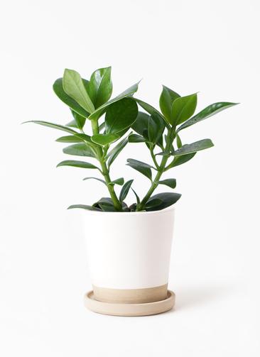 観葉植物 クルシア ロゼア プリンセス 3.5号 マット グレーズ テラコッタ ホワイト 付き