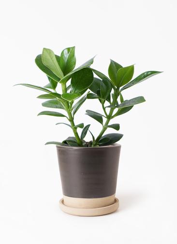 観葉植物 クルシア ロゼア プリンセス 3.5号 マット グレーズ テラコッタ ブラック 付き