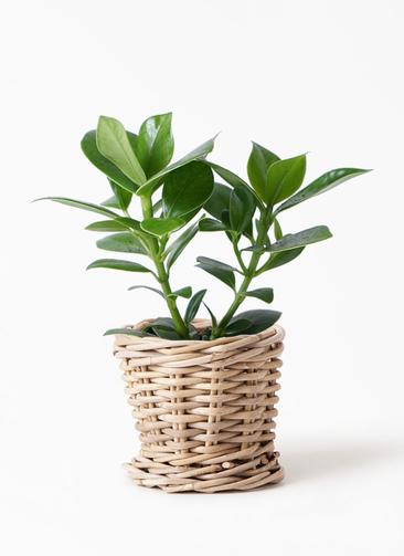 観葉植物 クルシア ロゼア プリンセス 3.5号 グレイラタン 付き