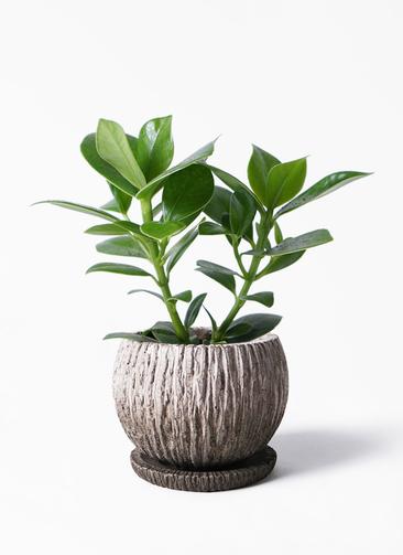 観葉植物 クルシア ロゼア プリンセス 3.5号 ストーン ウェア セラミック 付き