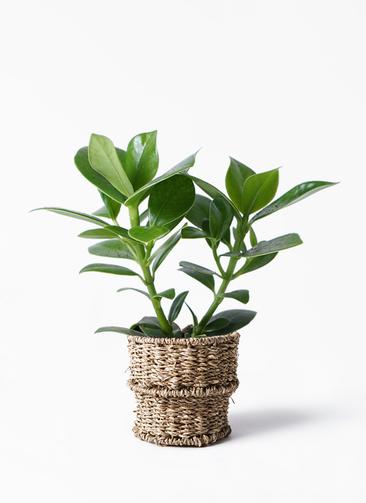 観葉植物 クルシア ロゼア プリンセス 3.5号 バスケット 付き